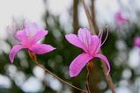 深山ツツジの花