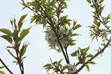 シダレ桜の花