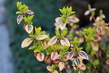 ツルマサキの葉