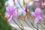 ミツバツツジの花