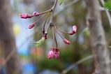 紅八重シダレ桜の花