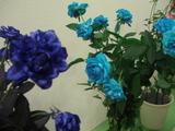 バラ1青いバラ!?