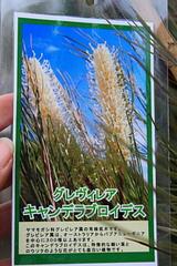 """グレヴィレア""""キャンデラブロイデス""""の花"""