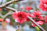 紅シダレモモの花